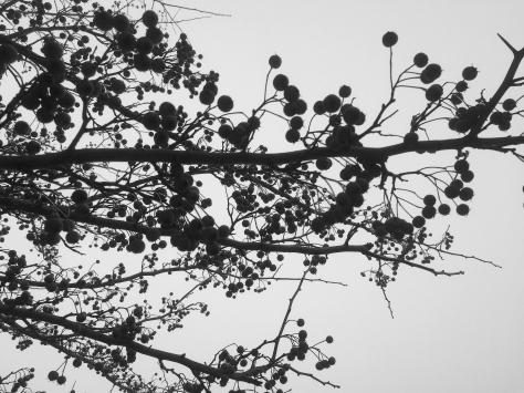 bittersweet against grey skies
