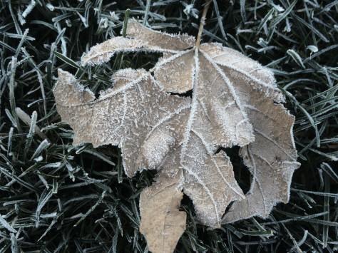 leaf w frost