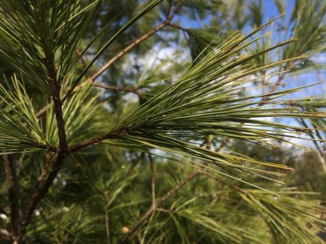pine w water drops