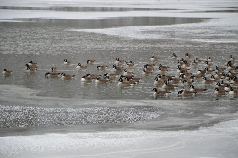 geese on frozen river