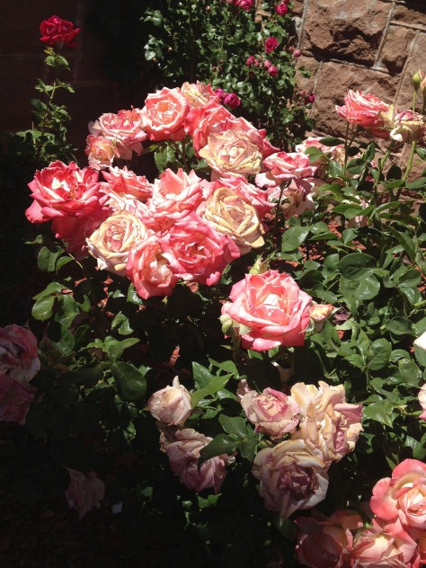 pink roses in the sun