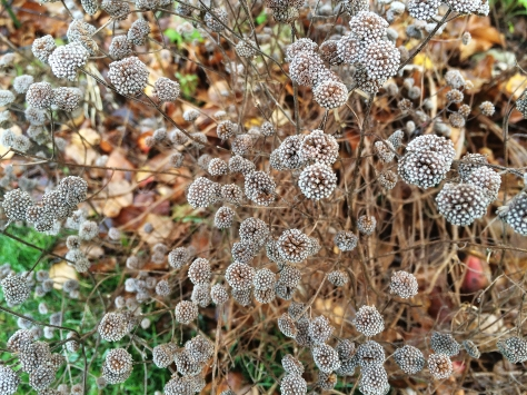 seed pods w frost