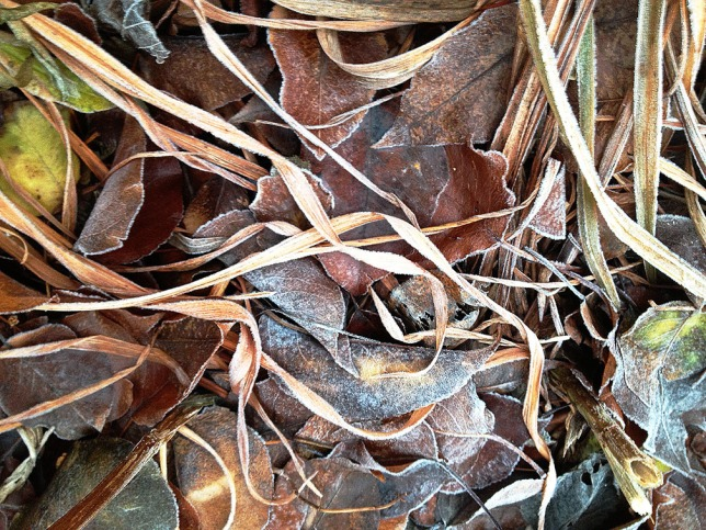 Frost on leaves2