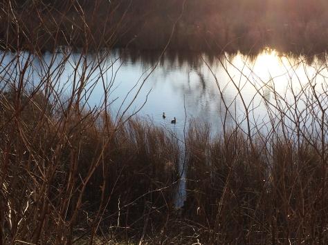 marsh with ducks