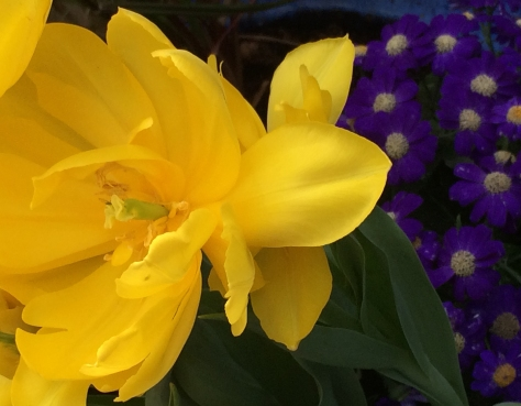 yellow tulip and primrose