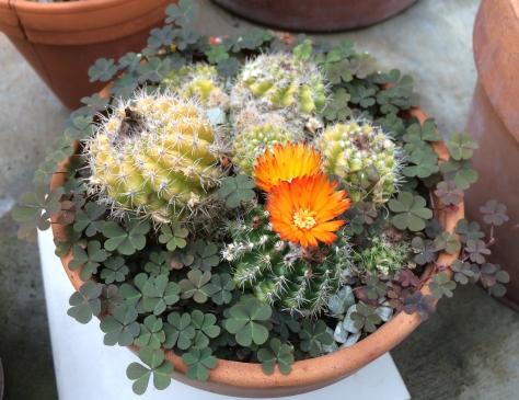 cactus w weeds
