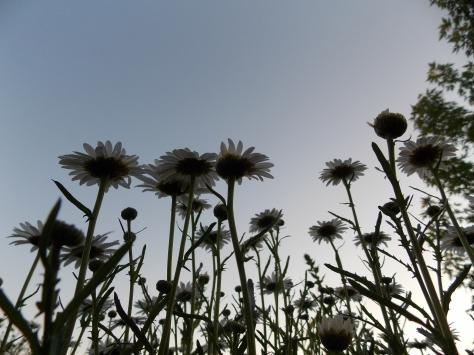 daisies w blue sky