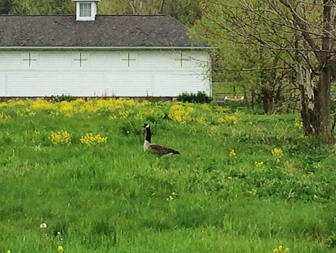 goose in the field