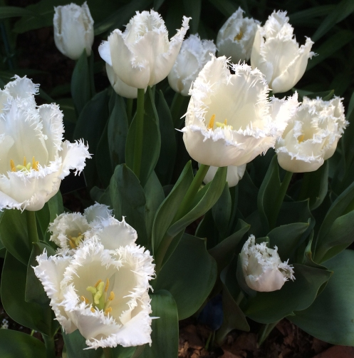 white ruffled tulips