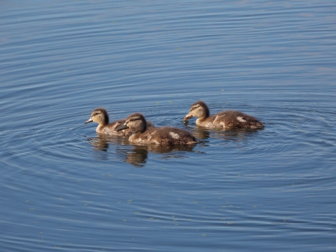 baby ducks 2