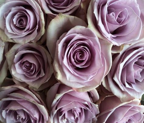 roses in mauve