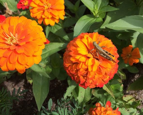 grasshopper-on-zenias
