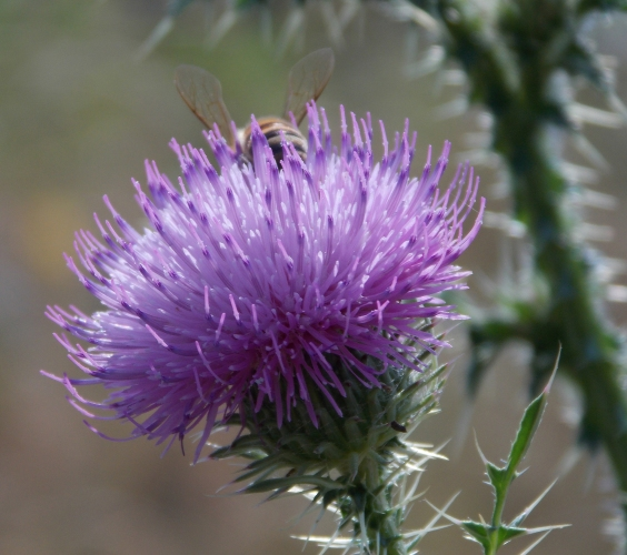 purple-thistle