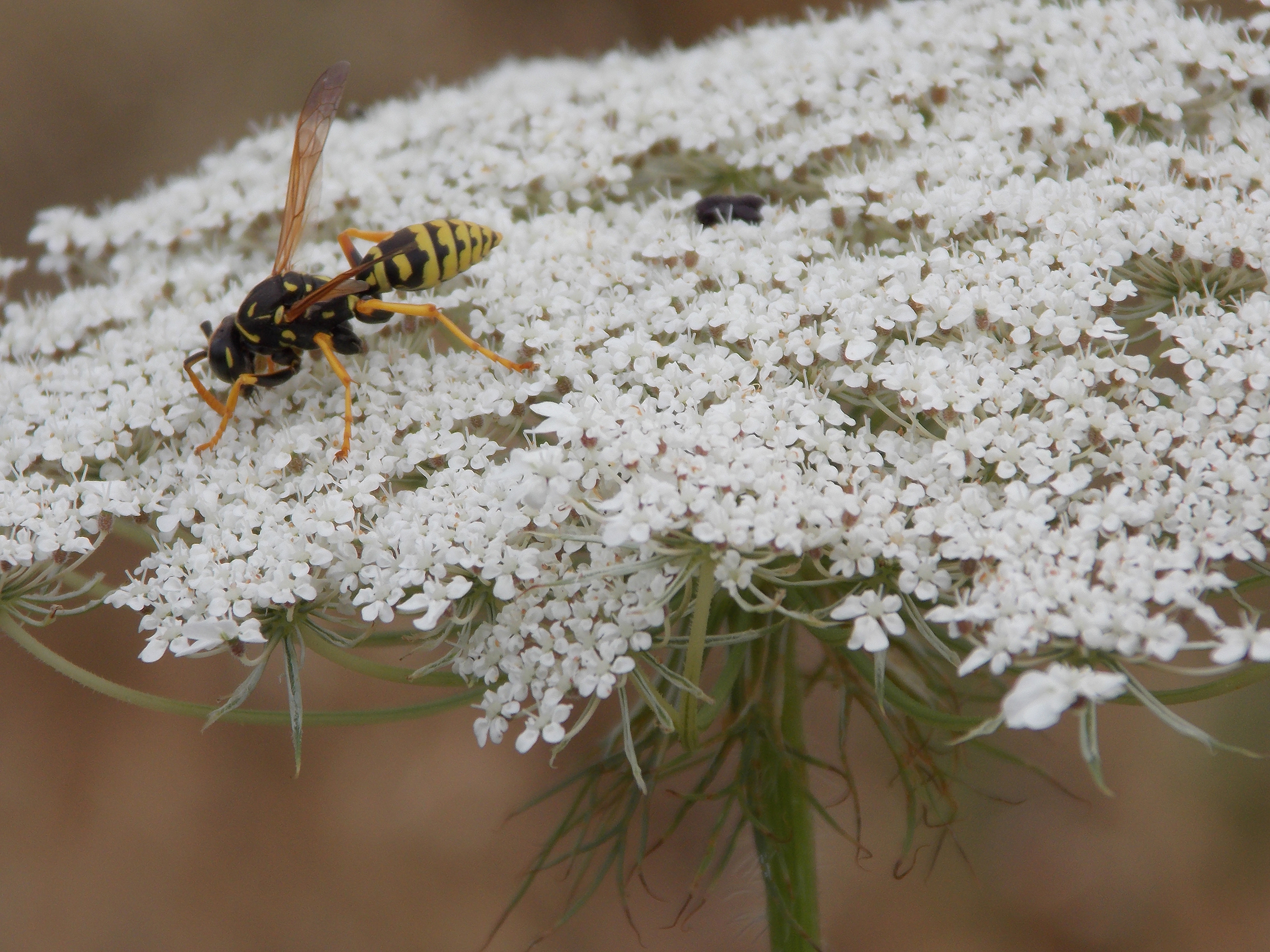 bee-on-queens-a-lace