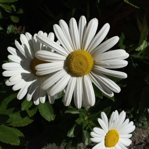 daisies-close-up