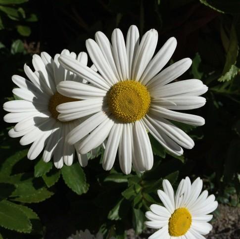 daisies-close-up