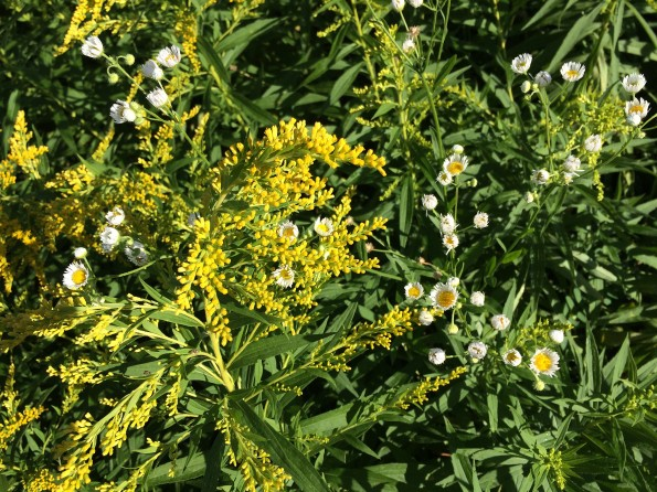goldenrod-and-little-flowers