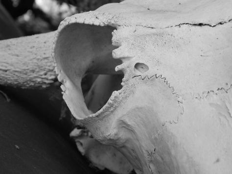 buffalo-skull