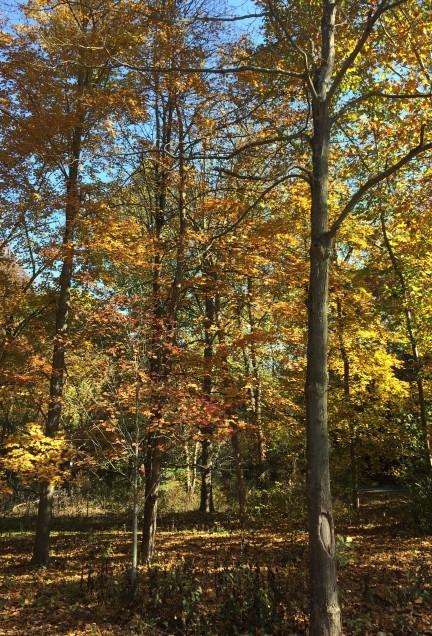 fall trees4.jpg