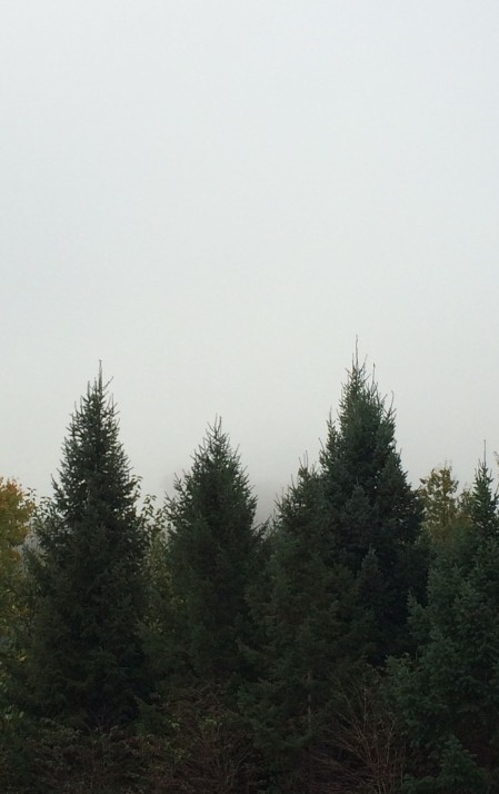 pines-and-fog