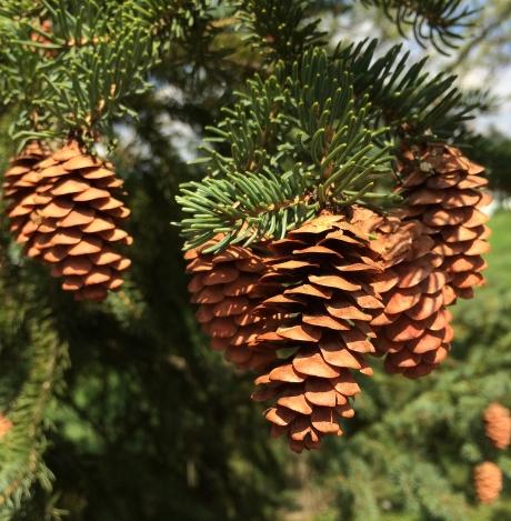 pinc cones on tree.jpg