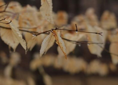 leaves-w-rain