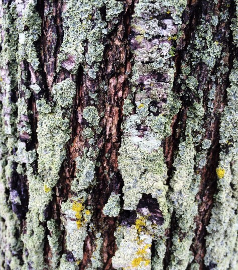 lichen-on-a-tree