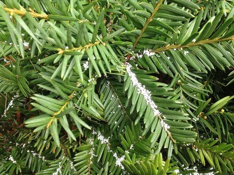 pine-w-snowy-ice