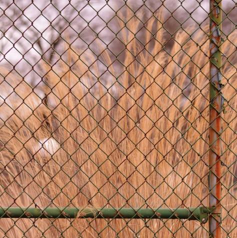 fence w gold stalks