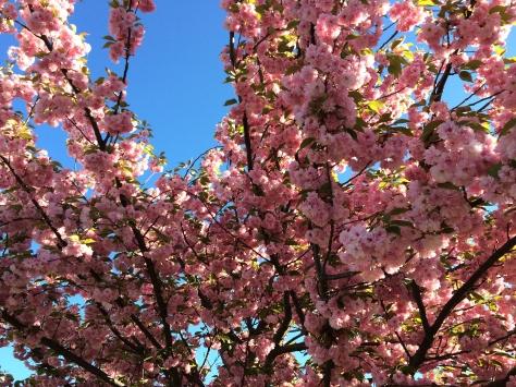 cherry blossom tree and sky