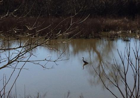 heron on the marsh spring