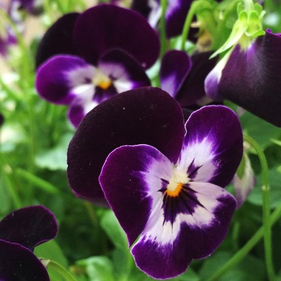 close up viola