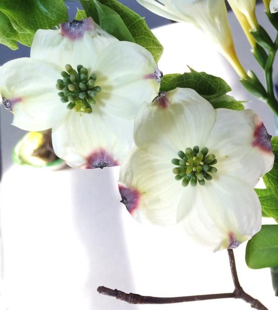 dogwood flowers2