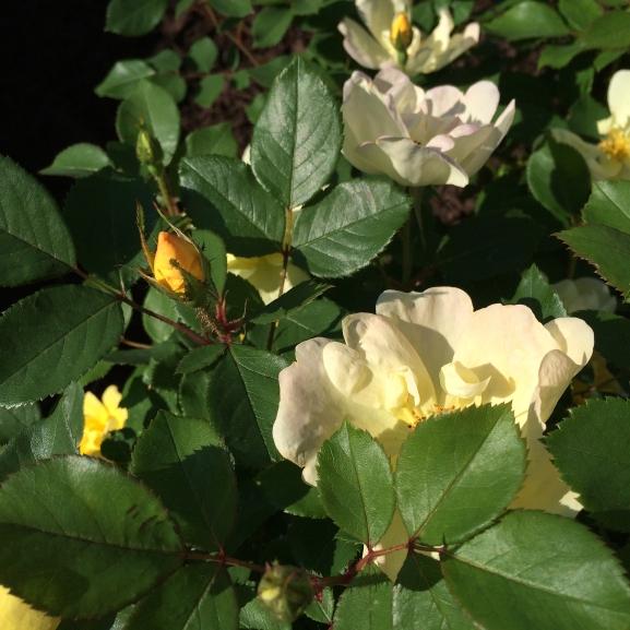 yellow rosebud2