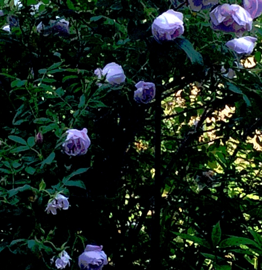 roses in shade posterized