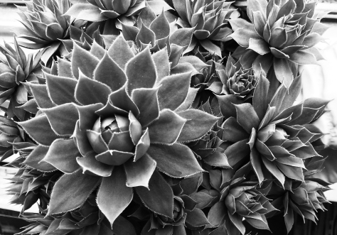 blwh succulent