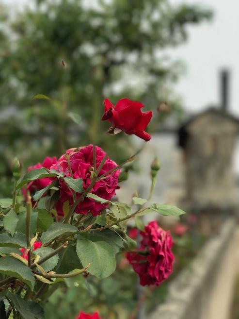 roses in spain