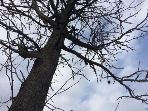 buckeye tree2