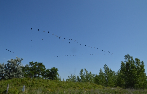 geese in v