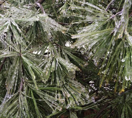 ice on pine