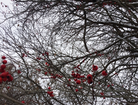 red berries in trees2
