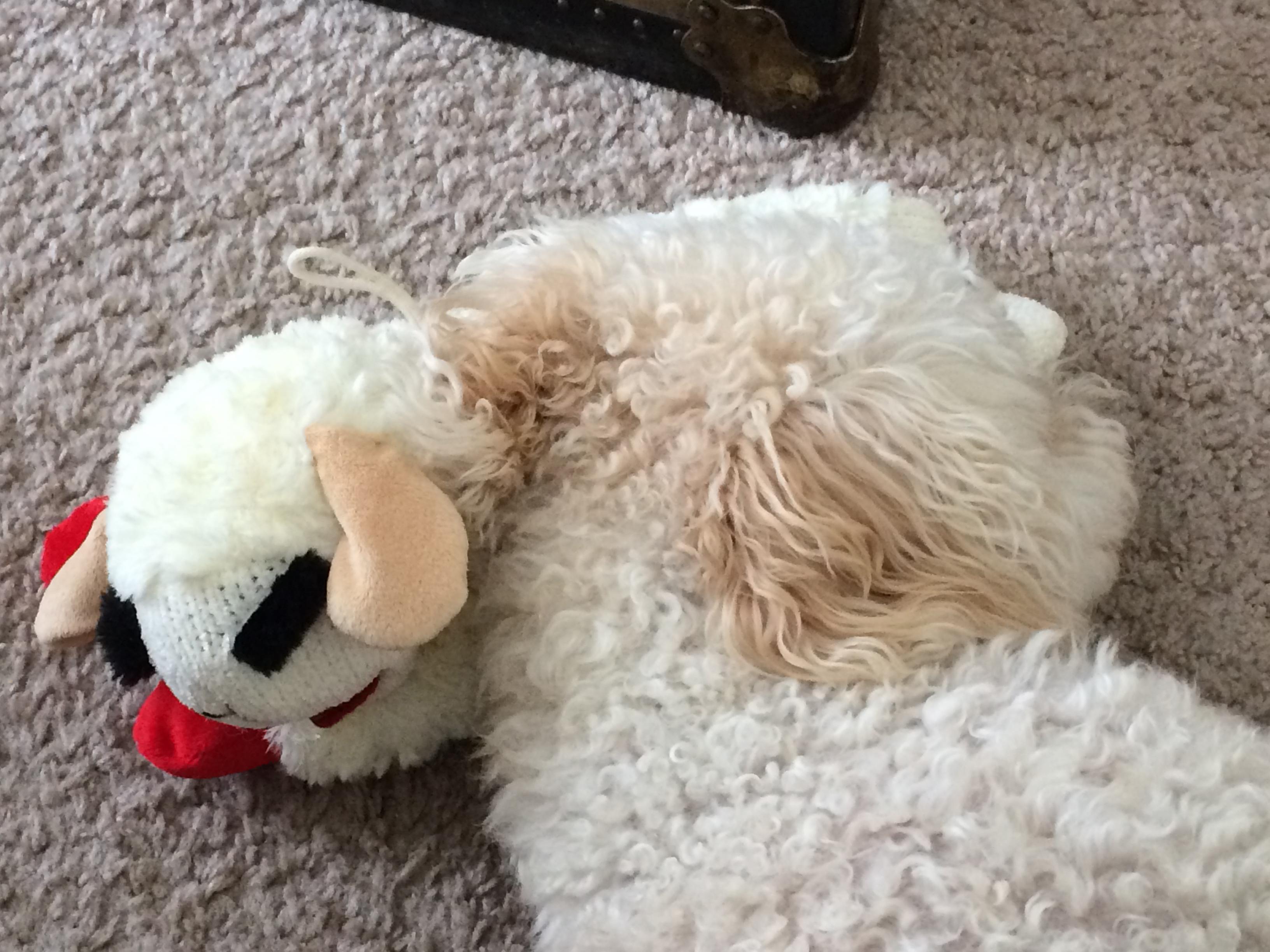 juliet wth lambchop