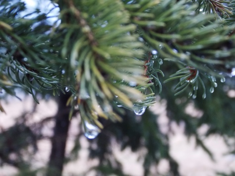 pine with water