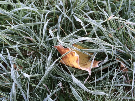frost on one leaf in tall grass.jpg