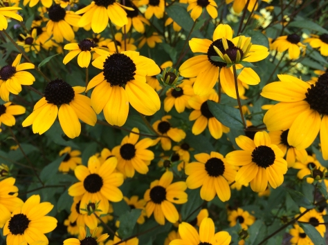 small yellow daisies.jpg