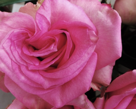 pink rose mothers day