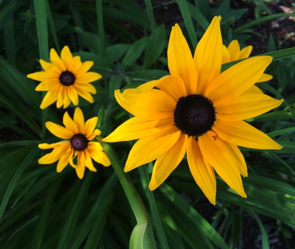 black eyed daisies