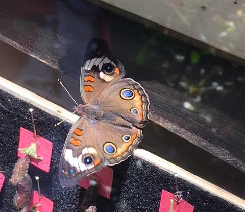 butterfly-neve.jpg