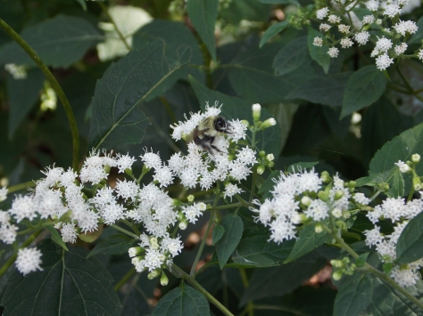 bee in white flowers