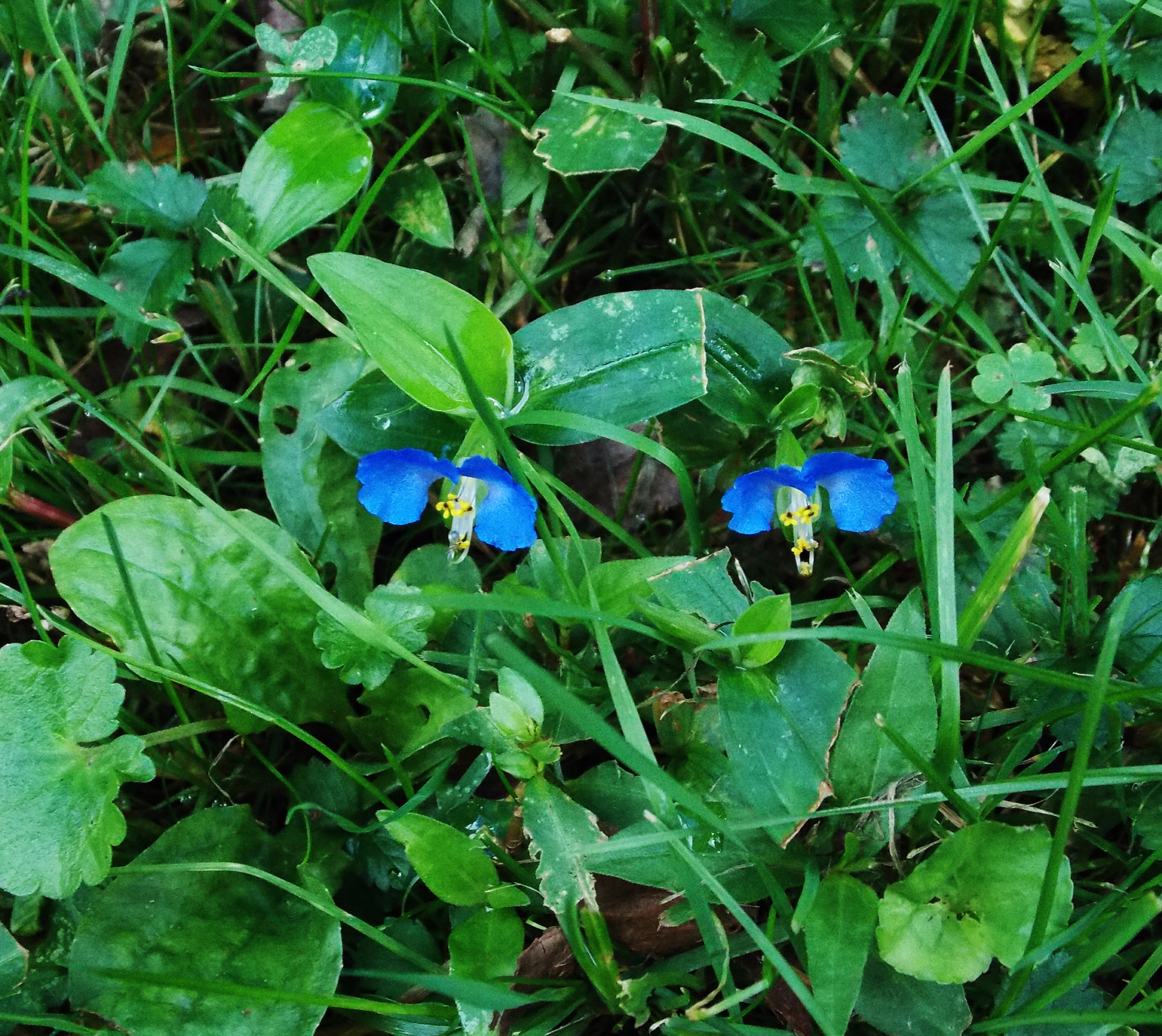 blue flowers in the grass